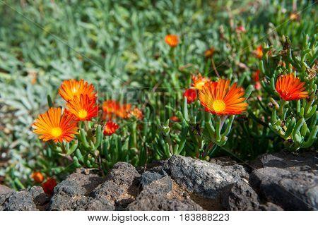 Red Finger Vygie (Malephora purpureo-crocea Malephora purpureocrocea) flowering Canary Islands Tenerife