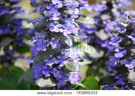 Flowering bugleweed ground cover in a garden.