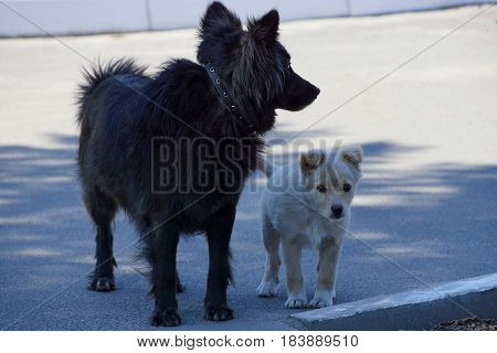 Big black dog and white puppy standing on the pavement