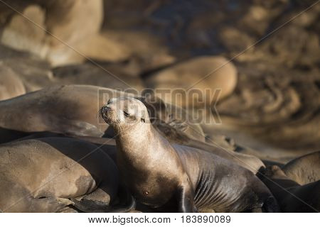 Adorable California Sea Lion (Zalophus californianus) Posing on Rocks at La Jolla Cove, USA for the Camera