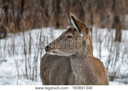 Wild young deer in winter forest - close shooting. Animals artiodactyls in the nature of the North.