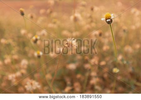 Grass Flower With Sunset Light.