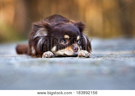 sad chihuahua dog lying down outdoors in summer
