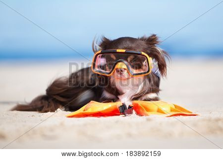 funny chihuahua dog in snorkel glasses on a beach