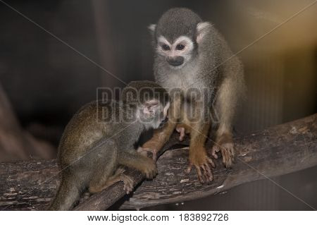 Amazing family of squirrel monkeys with a baby on tree with it's mom's.