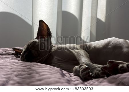 canadian Sphynx kitten is sleeping on the blanket a Sunny day a bald cat