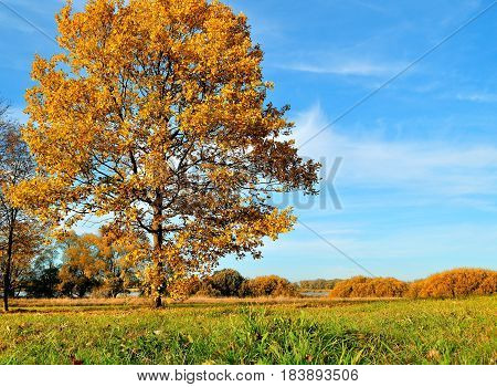 Autumn landscape with orange autumn oak tree. Autumn nature -orange autumn oak in autumn sunny field. Picturesque autumn view of autumn field. Soft focus applied. Autumn nature in sunlight