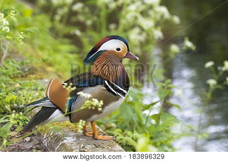 Mandarin Duck (Aix galericulata) drake standing on the Quayside of a small Canal between the vegetation