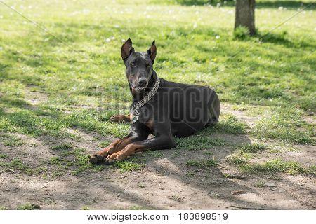 Brown Doberman pinscher dog relaxing on green grass outdoor