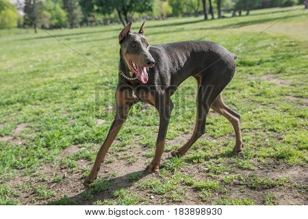 A young beautiful Brown Doberman Pinscher standing on the lawn while sticking its tongue out and looking happy and playful. Dobermann is a breed known for being intelligent alert and loyal companion dogs. poster