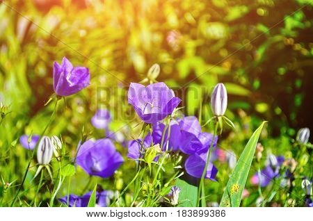 Spring bell flowers - Campanula carpatica - in the spring meadow under bright sunlight. Spring flower landscape. Focus at the central bell flower. Flower spring backgorund with spring bell flowers. Spring landscape