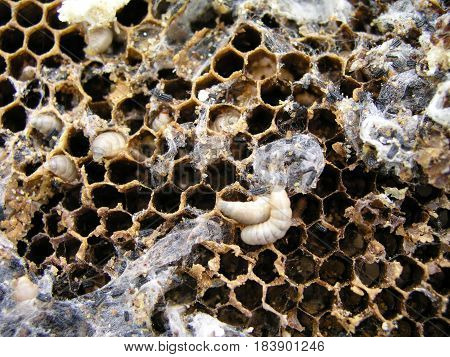 Wax moth larvae on an infected bee nest. The family of bees is sick with a wax moth. Terrible wax bee frame eaten by parasites.