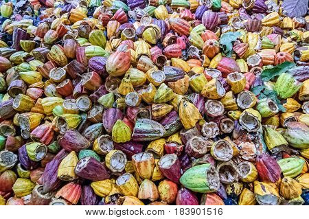 Pile of discarded empty cacao pods after cacao beans have been harvested Guatemala