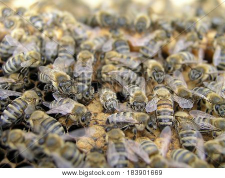 Bee colony in the stock on the frame with a sealed brood, pollen and stores. The bees in the brood chamber on drawn comb with honeycomb and stores.