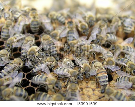 The bees in the brood chamber on drawn comb with honeycomb and stores.Breeding and Handling bees. Nurse bees on the frame with the beeswax and propolis in queenless colony.