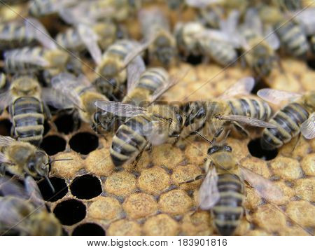 Artificial insemination of the bees in the apiary of beekeeper. Sealed brood in the hive with bee family. Nurse bees on the frame with the beeswax and propolis in queenless colony.