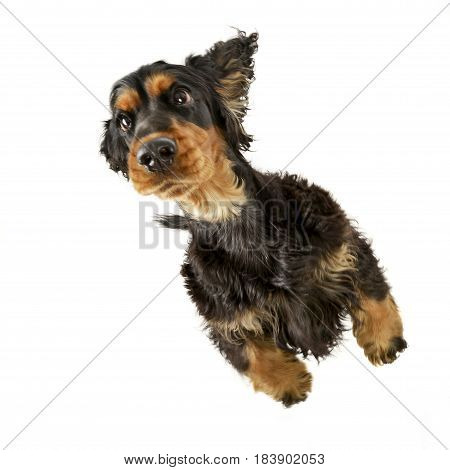 An Adorable English Cocker Spaniel Standing On Two Legs