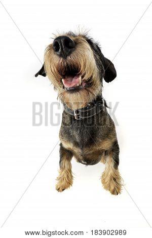 Wide Angle Shot Of An Adorable Dachshund