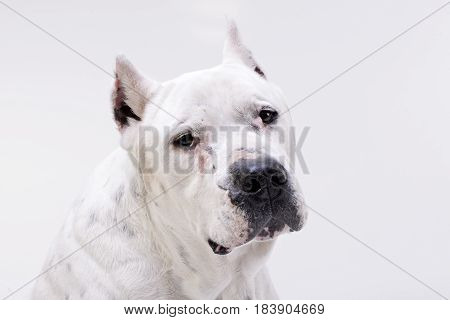 Portrait Of An Adorable Dogo Argentino