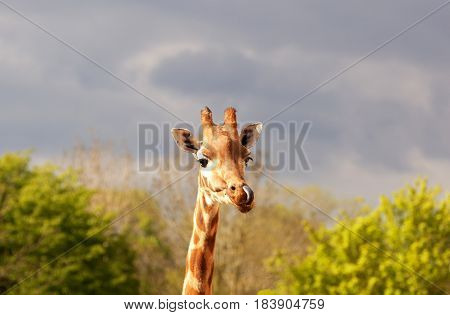 Close-up of a gorgeous giraffe's face with its tongue sticking out and trees in the background. Shallow depth of field and space for text.
