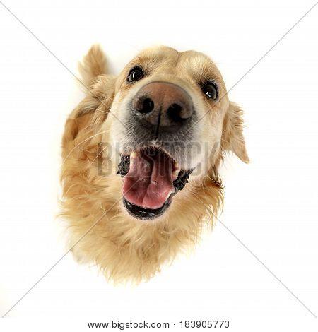 Wide Angle Portrait Of An Adorable Golden Retriever