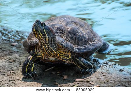 Turtle tortoise taking a bath in the sun to get warm