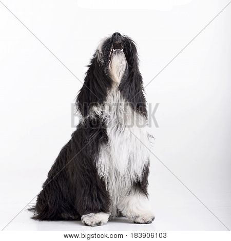 Studio Shot Of An Adorable Tibetian Terrier