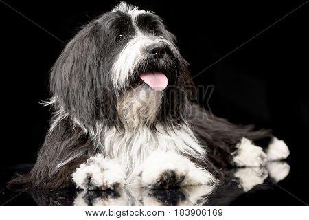 Studio Shot Of An Adorable Tibetian Terrier