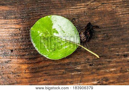 A Single Pear Leaf