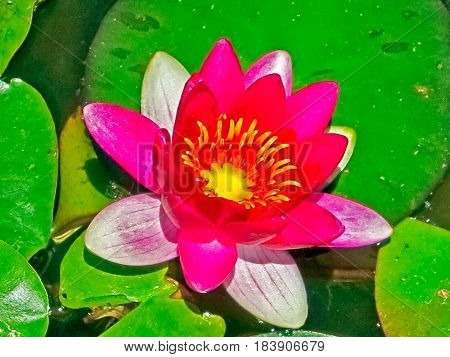 Crimson waterlily floating on pad of green leaves