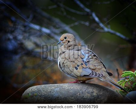 Mourning Dove on a Rock Fluffing His Feathers