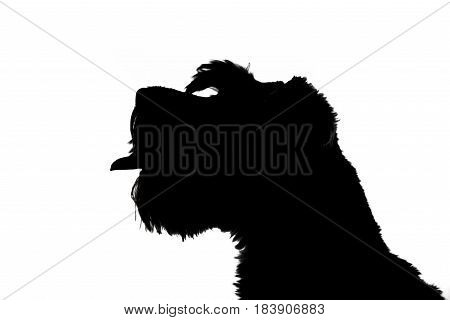 Silhouette Of An Adorable Miniature Schnauzer
