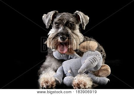 An Adorable Miniature Schnauzer With A Stuffed Elephant