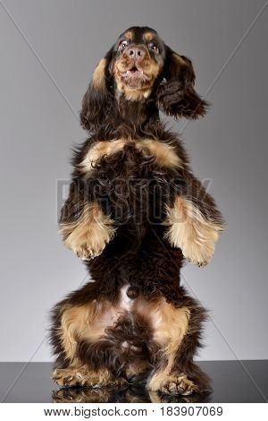 An Adorable English Cocker Spaniel Standing On Hind Legs