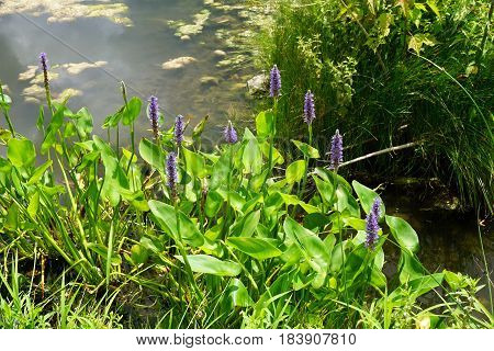 Pickerel weed (Pontederia cordata) blooms in a small, artificial lake in Joliet, Illinois during July.