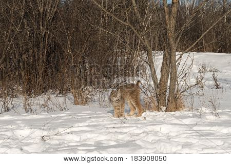 Canadian Lynx (Lynx canadensis) Stands Tall Next to Tree - captive animal