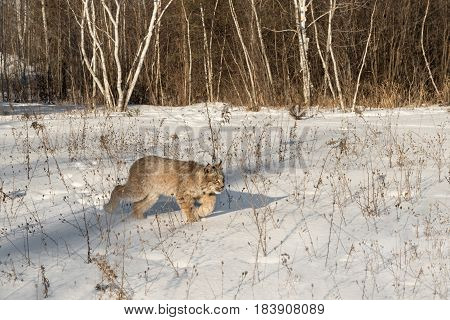 Canadian Lynx (Lynx canadensis) Walks Right Through Snow - captive animal