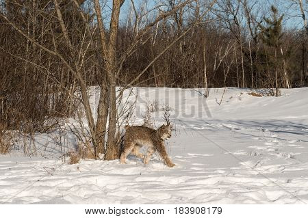 Canadian Lynx (Lynx canadensis) Walks Right Long Legged - captive animal