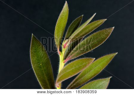 Macro Portrait of a the leaves of a blooming bottlebrush plant in front of a dark gray background
