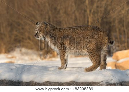 Bobcat (Lynx rufus) Stands to Left on Log - captive animal