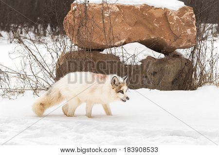 Red Marble Fox (Vulpes vulpes) Stands in Snow Near Piled Rocks - captive animal