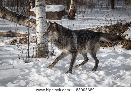 Black Phase Grey Wolf (Canis lupus) Moves to Left - captive animal