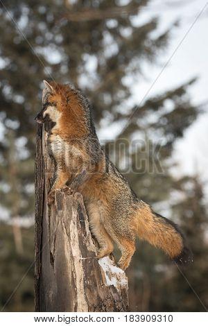 Grey Fox (Urocyon cinereoargenteus) Looks Left From Top of Broken Tree - captive animal