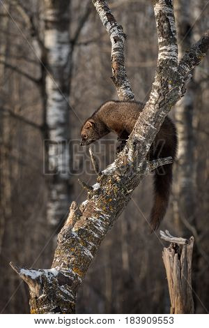 Fisher (Martes pennanti) in Tree - captive animal