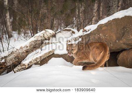 Adult Female Cougar (Puma concolor) Turns at Den - captive animal