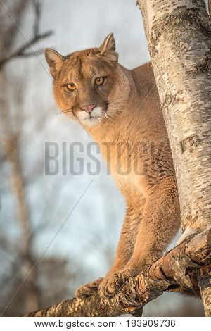 Adult Female Cougar (Puma concolor) Looks Down From Tree - captive animal