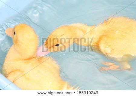 Two Baby Pekin Ducks Swimming and Playing in a Bathtub
