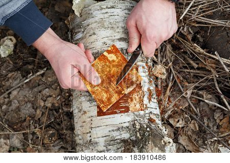 Man cuts off the bark from the fallen trunk of a birch.