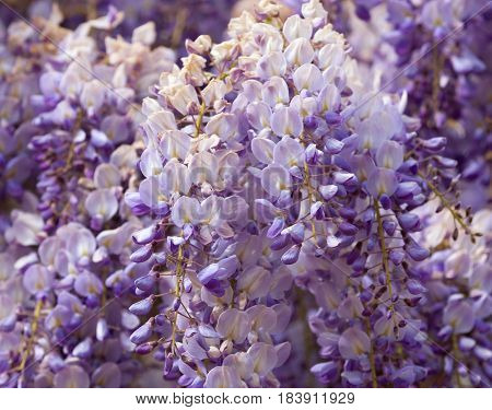 Beautiful purple and white flowering Wisteria that can be used as a background with space for text. Shallow depth of field.