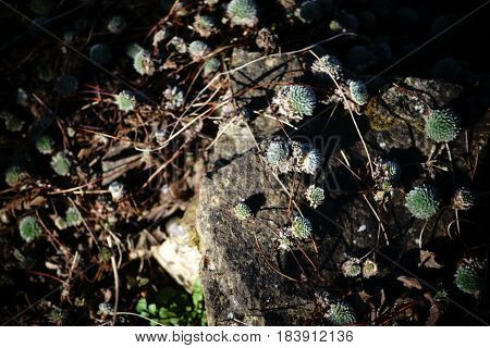The succulent and ground-covering sheets of Androsace.